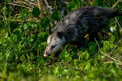 Virginia opossum, viera wetlands. Virginia opossum searching for food, viera wetlands Stock Photos