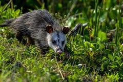 Virginia opossum, viera wetlands. Virginia opossum searching for food, viera wetlands Stock Photography