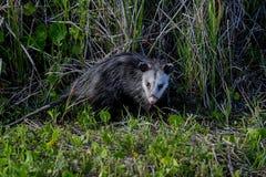 Virginia opossum, viera wetlands. Virginia opossum searching for food, viera wetlands Royalty Free Stock Images