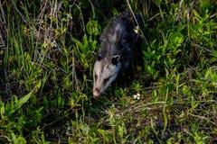 Virginia opossum, viera wetlands. Virginia opossum searching for food, viera wetlands Royalty Free Stock Photos