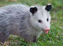 Virginia Oppossum Stock Image