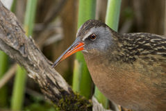 Virginia Rail Stock Photography