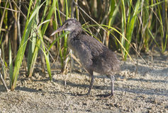 Virginia Rail Royalty Free Stock Photo