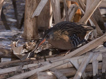 Virginia Rail #1 Imagem de Stock Royalty Free