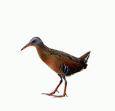 Virginia Rail Bird Stock Afbeeldingen