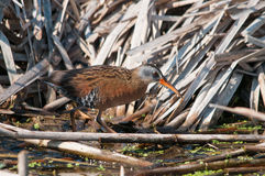 Virginia Rail. In the marsh royalty free stock image