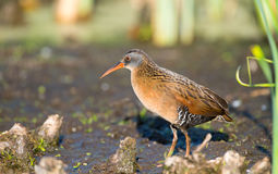Virginia Rail in a marsh Royalty Free Stock Photo