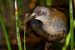 The Virginia Rail. (Rallus limicola). Portrait of a bird very close. A bird it is guarded looks. A dark background Royalty Free Stock Images