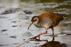 The Virginia Rail. (Rallus limicola). Portrait of a bird very close. A bird it is guarded looks. A dark background Royalty Free Stock Photos