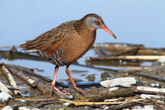 Virginia Rail (Rallus limicola) Stock Photo