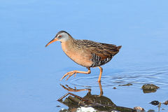 Virginia Rail (Rallus limicola) Stock Image