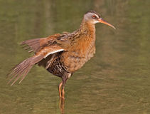 Virginia Rail, Rallus limicola, wings extended Stock Photography