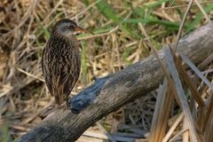 Virginia Rail. Standing on an old log. Lynde Shores Conservation Area, Whitby, Ontario, Canada Stock Photo