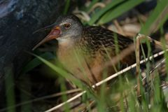 Virginia Rail. Walking through the marsh grass, calling for his mate. Lynde Shores Conservation Area, Whitby, Ontario, Canada Stock Photography