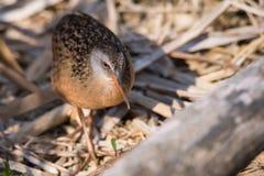Virginia Rail Waterbird Walking Across-Riet stock fotografie
