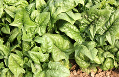 Virginia savoy spinach royalty free stock photo