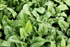 Virginia savoy spinach stock images