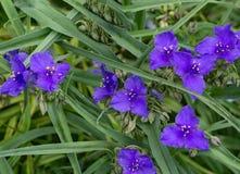 Virginia Spiderwort – Tradescantia virginiana Royalty Free Stock Photography