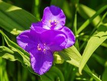Virginia Spiderwort – Tradescantia virginiana Royalty Free Stock Image