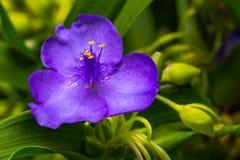 Virginia Spiderwort Flowering Bloom Lizenzfreies Stockfoto