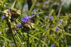 Virginia Spiderwort met purpere bloem royalty-vrije stock afbeelding