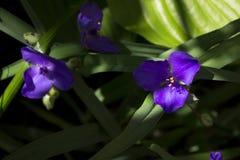 Virginia Spiderwort Tradescantia virginiana are blooming in garden stock images