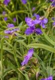 Virginia spiderwort Tradescantia virginiana with drops after r Royalty Free Stock Photo