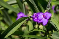Virginia spiderwort Tradescantia virginiana in garden Stock Images