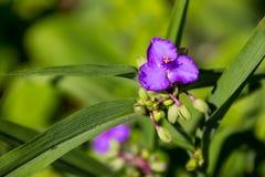 Virginia spiderwort Tradescantia virginiana in garden Stock Photos