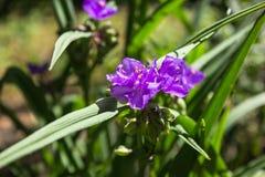 Virginia spiderwort Tradescantia virginiana in the garden stock photo