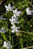 Virginia Spring Beauty Wildflowers - Claytonia virginica. These are delicate white and pink Virginia Spring Beauty Wildflowers, Claytonia virginica, that come up royalty free stock photos