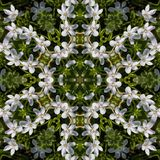 Virginia Spring Beauty Wildflowers Kaleidoscope. These are delicate white and pink Virginia Spring Beauty Wildflowers, Claytonia virginica, that come up in my stock photo
