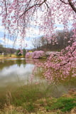 Virginia Spring Cherry Blossoms Royalty Free Stock Photography