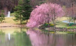 Virginia Spring Garden Cherry Blossom Landscape Stock Image