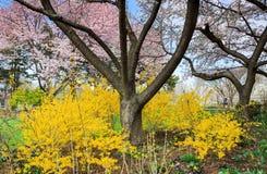 Virginia Spring Garden Landscape Forsythia Stock Photo