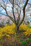 Virginia Spring Garden Vertical Landscape Forsythia Stock Photos
