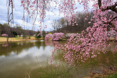 Virginia Springtime Cherry Trees Bloom stock foto's