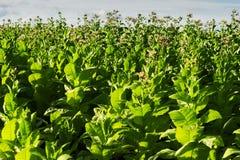 Virginia tobacco (Brightleaf tobacco) plants growing on plantation. royalty free stock images