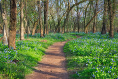 Virginia Trail Bluebell Wildflowers Stock Photo