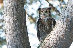 Virginia-Uhu, der in einem Baum sitzt lizenzfreie stockfotos