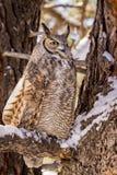Virginia-Uhu im Schnee bedeckte Baum Lizenzfreies Stockfoto