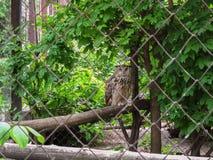 Virginia-Uhu sitzt auf dem Klotz hinter Gittern und betrachtet die Kamera im Kharkov-Zoo Charkiw, Ukraine Stockfoto