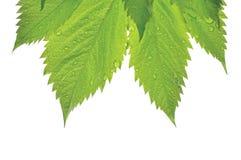 Virginia Victoria Creeper Leaf nova fresca, close up macro isolado, pingos de chuva da chuva do início do verão, fundo molhado do fotografia de stock royalty free