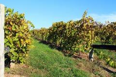 Virginia winnica w spadku Zdjęcie Stock