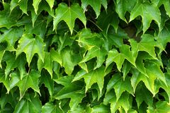 Virginian creeper. Freshly green Virginian creeper climbing up a wall royalty free stock photos