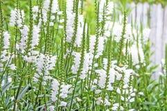 Virginiana blanco del Physostegia Fotografía de archivo libre de regalías