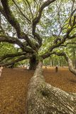 Virginiana de quercus de chêne d'ange Photo libre de droits
