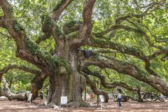 Virginiana de quercus de chêne d'ange Photo stock