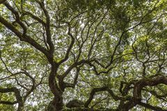 Virginiana do Quercus do carvalho do anjo Fotos de Stock Royalty Free