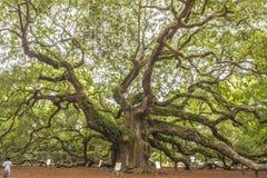 Virginiana do Quercus do carvalho do anjo Imagens de Stock Royalty Free